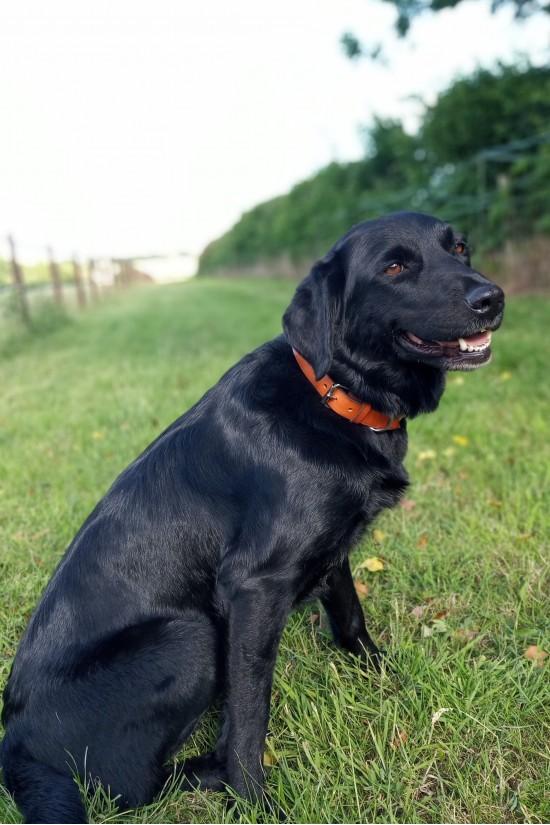 EB Tan Dog Collar
